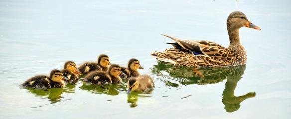 tmp_6928-mallard-ducks-934518_1280279061742