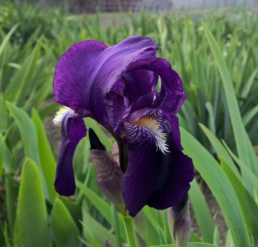Early Standard_ Purple (Mom)