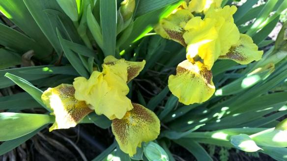Early_Yellow Mini